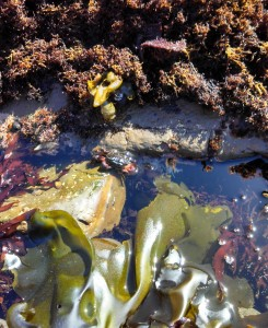 crab moss beach