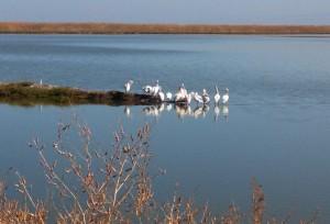Squadron of Pelicans