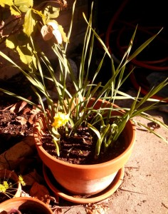 First daffodil is flowering in its pot
