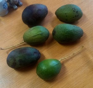 Here are 6 fresh avocados out of our backyard.  We think the are Fuerte.