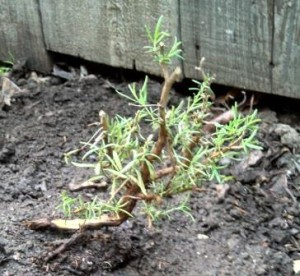 It's not much, but maybe someday it will produce a lot of rosemary.