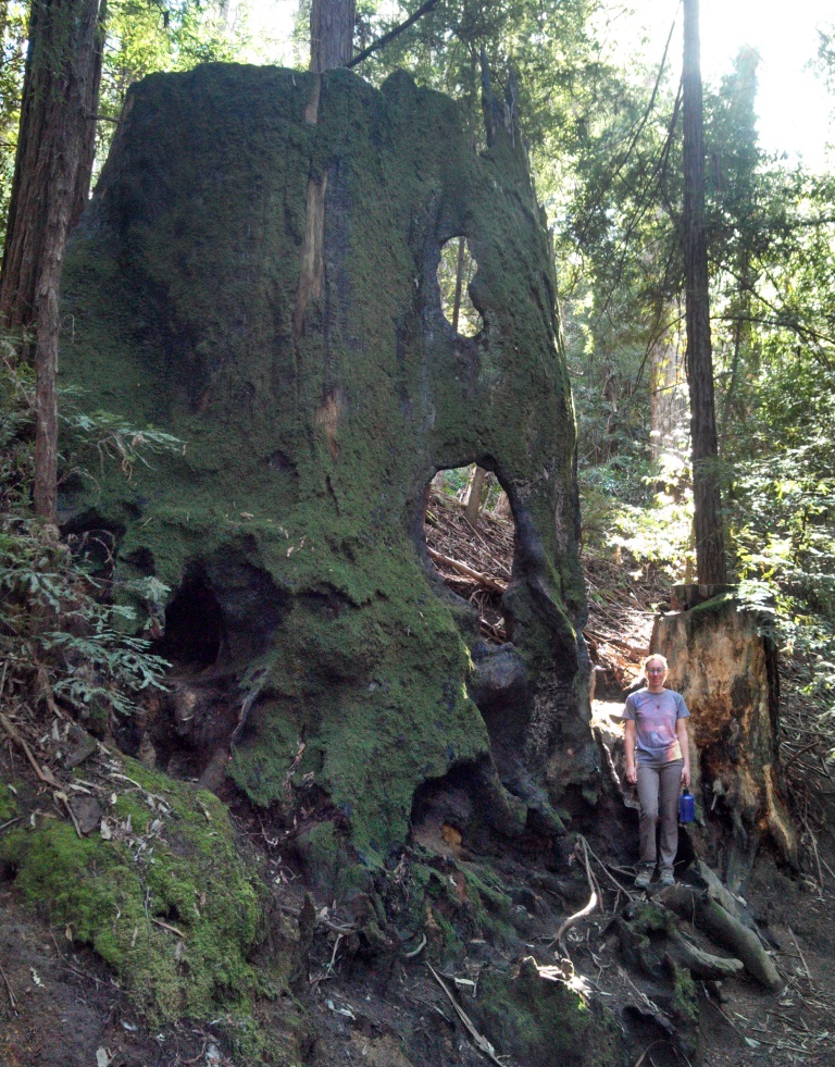 This is the biggest tree stump I have every seen. It is near the horse corral on the loop trail.  It must have been at least 20 ft in diameter and I wish I could have seen the tree a century or two ago in its dotage.