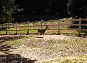 Doe, a deer, a female deer.  Trapped in a Horse Corral, and by trapped I mean that 5 seconds later it and its yearling jumped the fence.