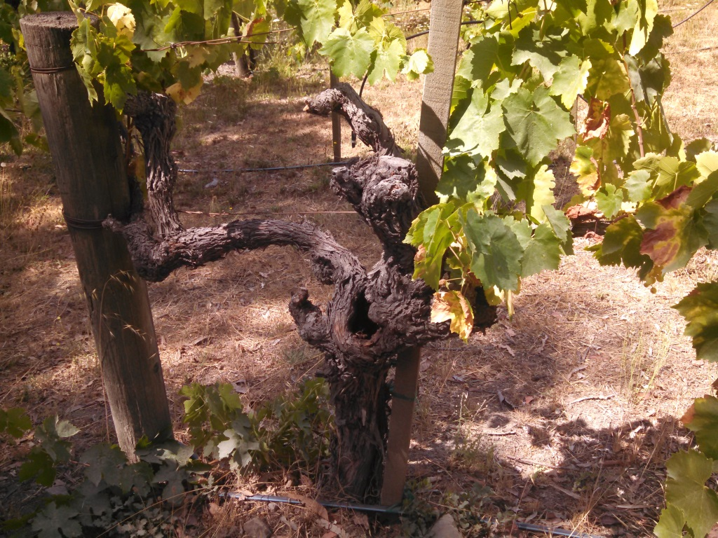 Some of the vines were really old growth