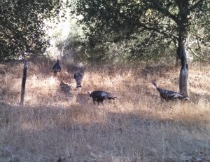 This time we saw a flock of turkeys before we even left the car