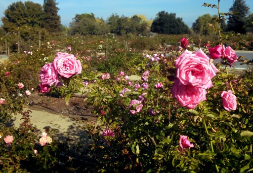 The rose garden was quite pretty, and smelled delightful, and was full of bees.
