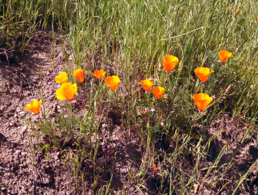 It;s poppy season! We love poppies. So colorful in a green and brown landscape.