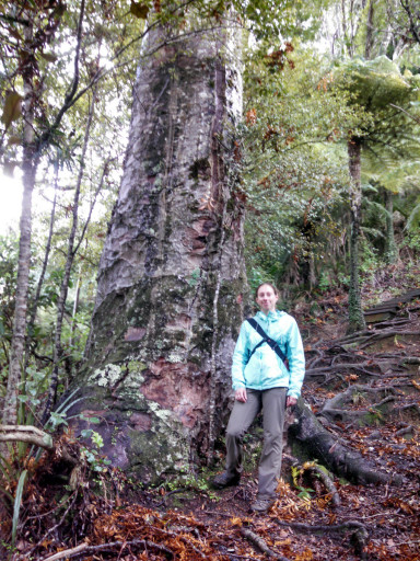 Jasmine next to a larger Kauri tree. This on was about 3m diameter, some of the largest ones off of the trail look around 4-5m diameter.