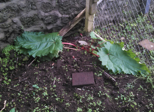 The rhubarb post harvest. You should always leave a  few leaves on the plant as rhubarb is a perennial