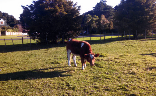 Obligatory grazing animal in Totara park. NZ loves their combined park / grazing area. PS they are almost always dog off-lead areas which implies a fair bit of faith in training a dog.