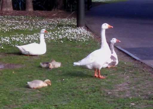 I saw goslings immediately upon entering the park proper.