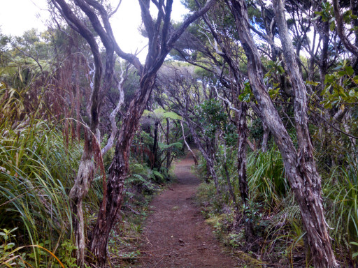 Once we got about halfway west through the park the trail got quite nice and surrounded by Pohutukawa trees.