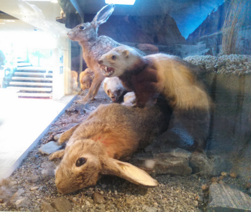 Finally, we were very confused by this diorama in a local museum. I think the stoat is evil invasive species, but the rabbits are invasive too?