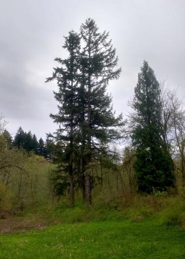 I like cedar trees.