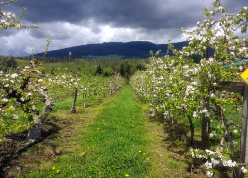 And the apple orchard at the winery had some blooming apple trees.