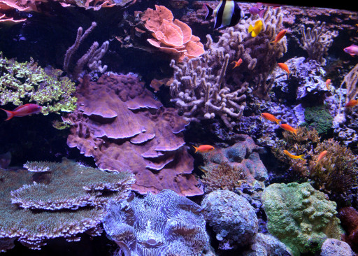 Insert generic coral in an aquarium photo here.
